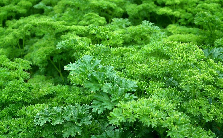 Дачников предупредили о петрушке кудрявой: выращивать как зелень можно, а на семена – нет