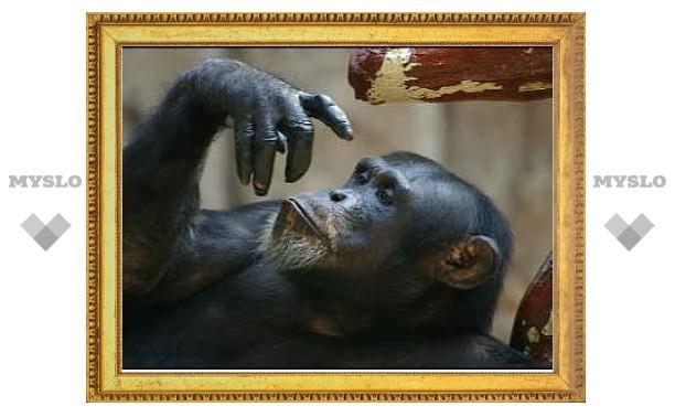 У шимпанзе нашли культурный бэкграунд