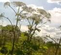 Под Тулой обнаружены бескрайние поля борщевика: видео