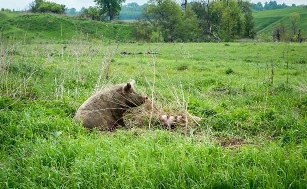 В Тульской области 33 свиньи терроризируют деревенских жителей