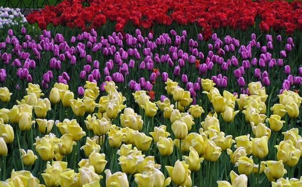 До конца июня в Туле высадят 370 тысяч цветов