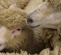 В Алексинском районе введён карантин по оспе коз и овец