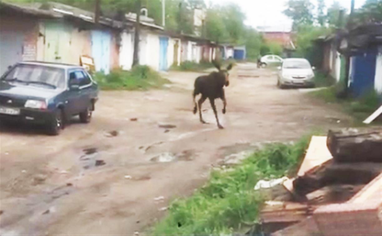 Бегавшего по Узловой лося засняли на видео