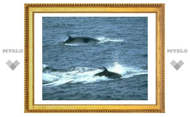 Япония тайно начала сезон охоты на китов
