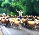 Регулировщик овец в Бунырево: видео