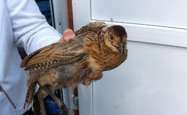 В Туле на улице нашли охотничьего фазана