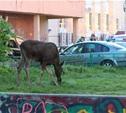 По детской площадке в Пролетарском районе гулял лось