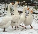 В Кимовске вор в женских сапогах украл гуся