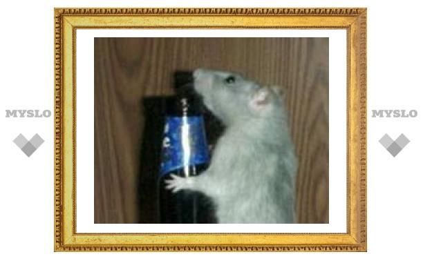 Инъекции в мозг избавили крыс от тяги к алкоголю
