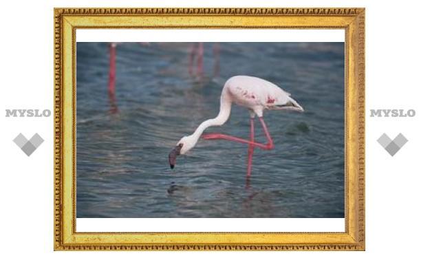 Ученые объяснили привычку фламинго стоять на одной ноге
