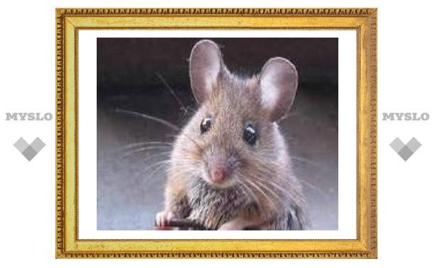 Ученые вывели трансгенных мышей повышенной прожорливости и плодовитости