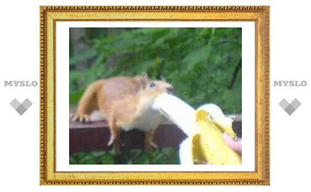 Тульским белкам полюбились бананы