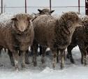 В Тульской области фермеры выращивают редких овец на мраморное мясо