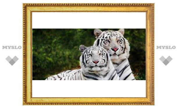 В Тулу едут белые тигры!