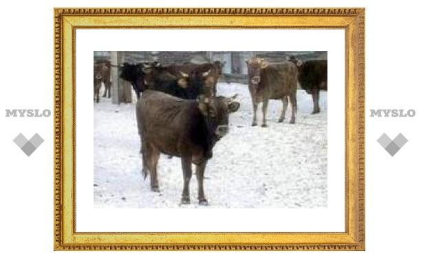 В Ставропольском крае злоумышленники угнали с фермы 31 корову