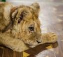 Зоозащитники: «В тульском контактном зоопарке мучают больного львенка!»
