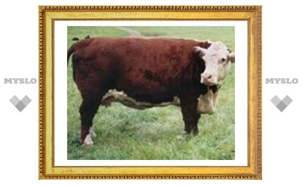 Аргентинские коровы будут производить инсулин