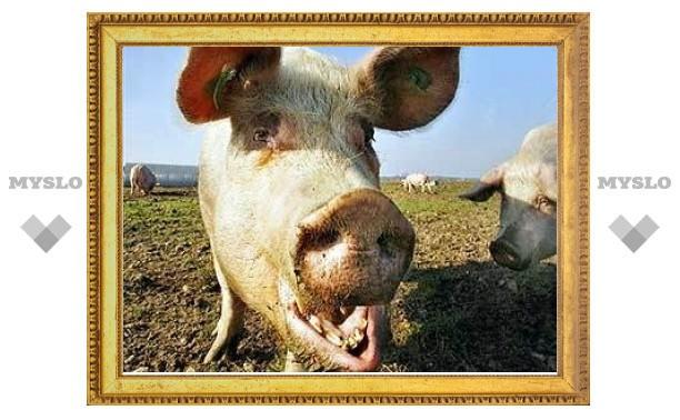 Импорт свиней в Россию вырос в 7 раз