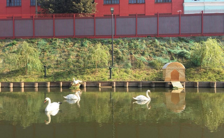 На Казанской набережной поселились белые лебеди