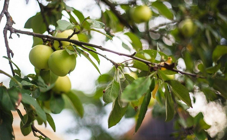 Тулякам рассказали о яблоневых садах Ясной Поляны