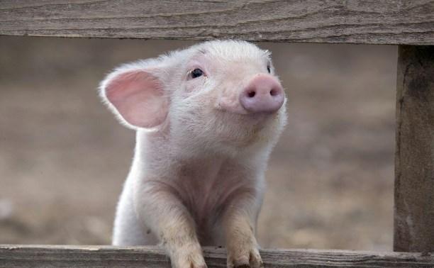 В Тульскую область запретили ввозить свиней, продукцию свиноводства и корма из 10 регионов