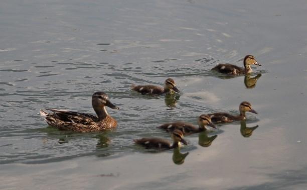 Туляков попросили посчитать водоплавающих птиц