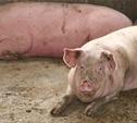 Предприниматель из Кимовска тайно вывез из «Лазаревского» 26 свиней