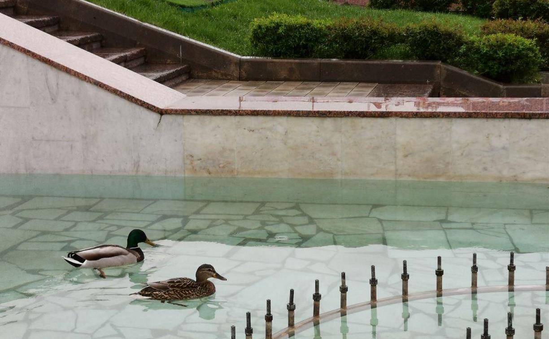 Утиные истории: пара уток облюбовали фонтан у здания тульского правительства – фото и видео