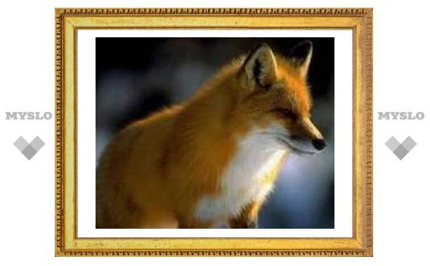 Тулу атакуют бешеные лисы?