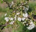 В сквере «Тульское чаепитие» зацвела вишня