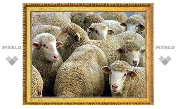 В Тульской области украли 17 овец