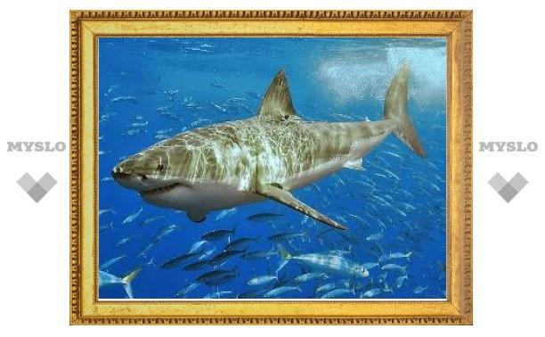 """Белые акулы устроили в Приморье """"родильный дом"""""""