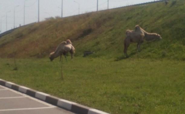 По Новомосковску разгуливают верблюды
