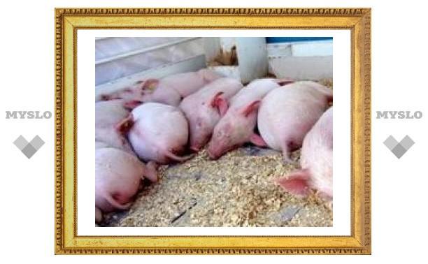 Тульских свиней оберегают от африканской чумы