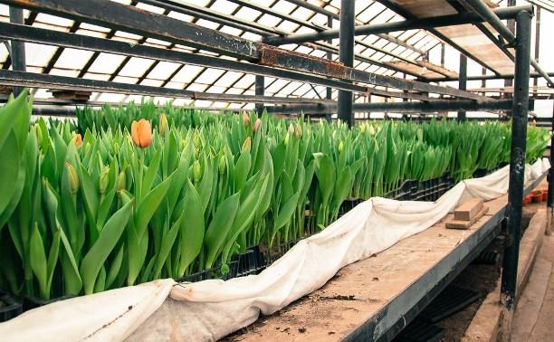 «Тулгорсвет» вырастил более 7 500 тюльпанов