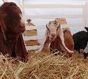 Россиянам запретили разводить овец и кур на садовых участках