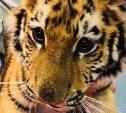Издевательство над тигренком: Тульская прокуратура нагрянула с проверкой в контактный зоопарк