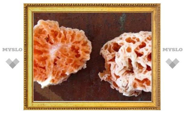 В честь Губки Боба назвали новый вид грибов