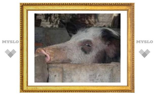 Пересаженные свиные клетки вырабатывают инсулин уже десять лет