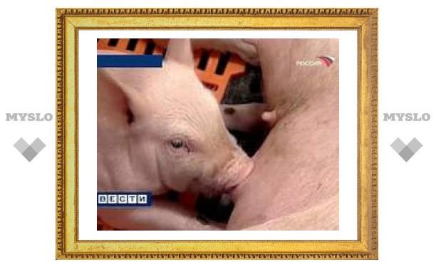 В Сочи уничтожат всех свиней