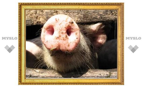 В Тульской области стало больше свиней