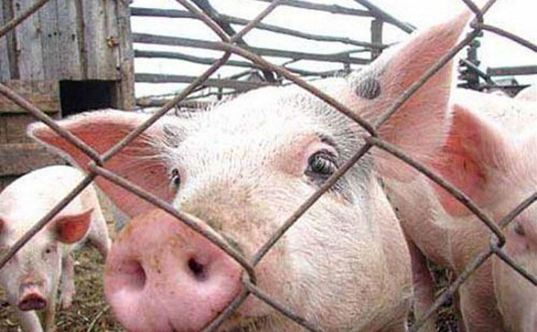 Эксперты нашли ДНК африканской чумы в свинине в Тульской области