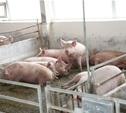 13 февраля в «Лазаревском» начали сжигать свиней