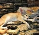 Пустынные лисички снова номер один
