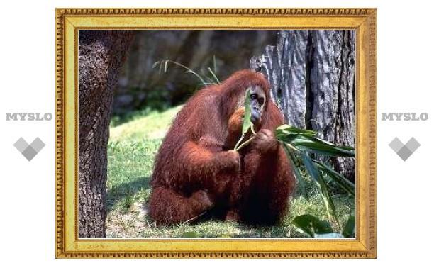 """Орангутаны оказались самыми """"экономными"""" приматами"""
