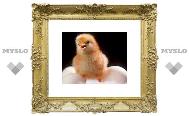 Как вывести цыплят дома