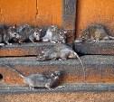 Тульских коммунальщиков обязали разработать план борьбы с крысами