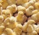 В Тульской области появятся четыре птицефермы