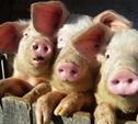 """Руководство ПХ """"Лазаревское"""" скрывало факт заражения африканской чумой свиней?"""