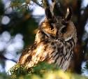 В Привокзальном районе поселились ушастые совы